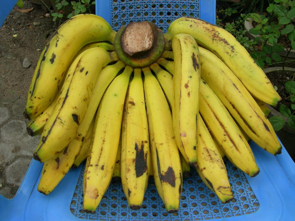 Game online memetik pisang ambon